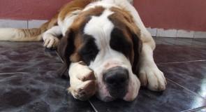 5 największych psów świata