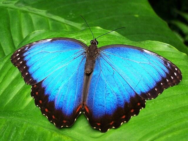 błękitny motyl z motylarium w Sztokholmie