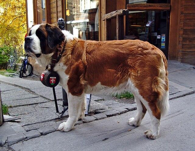 Bernardyn z obrożą - jeden z największych psów świata