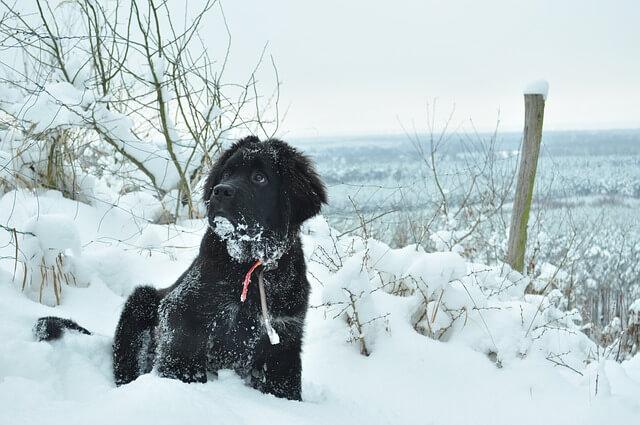 Czarny nowofundland - jeden z największych psów świata