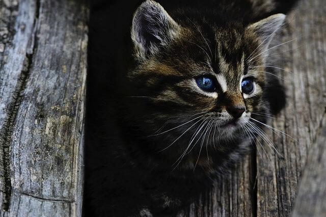 szary kot